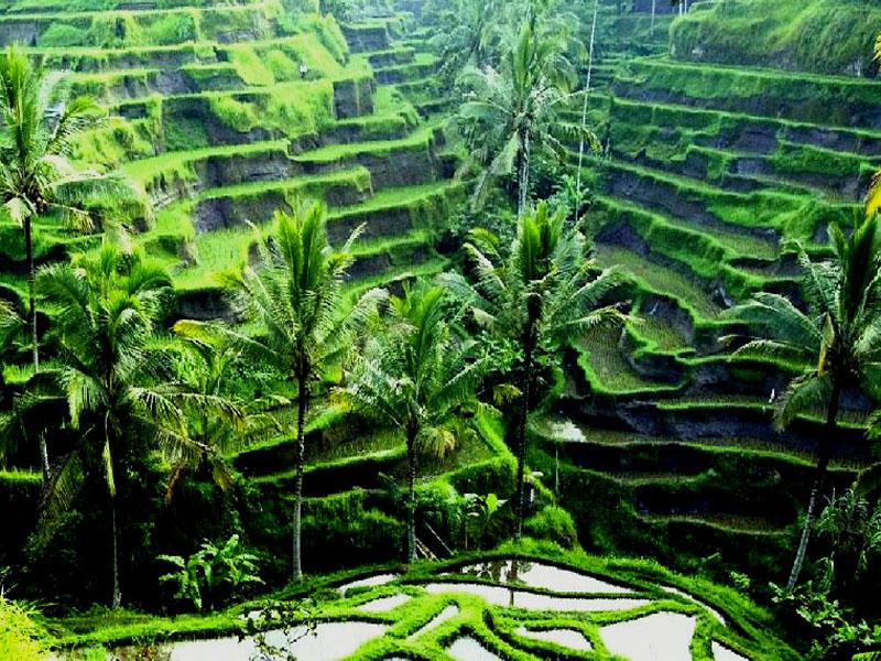 ¿Qué Hay De Mí? Capítulo150 Rice-fields-ubud-bali2
