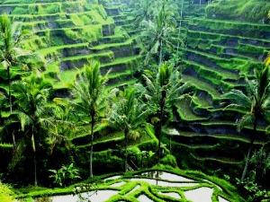 Rice fields, Ubud, Bali