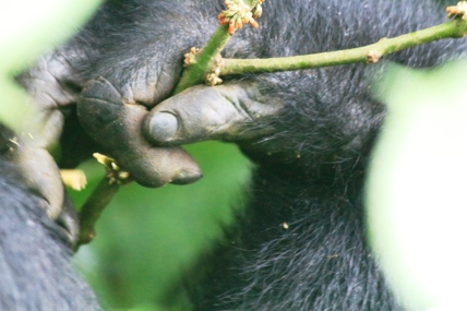 A tender Gorilla hand........Almost human, Bwindi