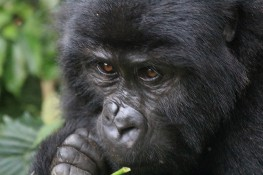 Baby gorilla 2 (Kabunga) from the Rushegura Family in Bwindi Forest