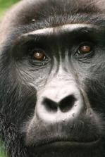 Close up of a young gorilla, Bwindi