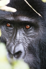 Close up of our close relative, Bwindi