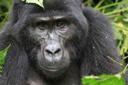 Gorilla 2 from the Rushegura Family on Bwindi Mountains