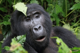 Gorilla from the Rushegura Family on Bwindi Mountains
