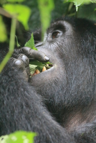 Yound gorilla feeding on leaves, Bwindi Forest