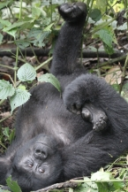 Young gorilla 2 having a stretch, Bwindi Forest