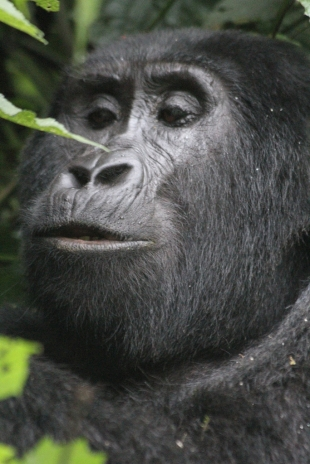 Young gorilla 4 from the Rushegura family, Bwindi Forest