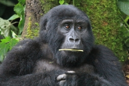 Young gorilla feeding on leaf stalk, Bwindi Forest