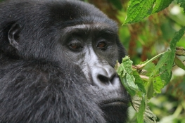 Young gorilla from the Rushegura family, Bwindi Impenetrable Forest