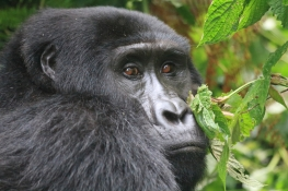 Young gorilla from the Rushegura family, Bwindi