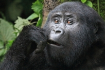 Young gorilla in pensive mood, Bwindi Forest