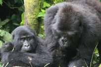 Young gorilla with Silverback father, Rushegura Family, Bwindi Forest
